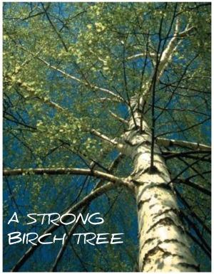 Birch_Tree11